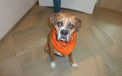 A tan and white boxer named Barney wearing a orange kerchief