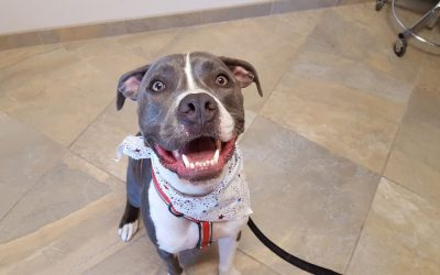 A happy grey and white pitt bull named Hercules smiling at the camera and wearing a white kerchief
