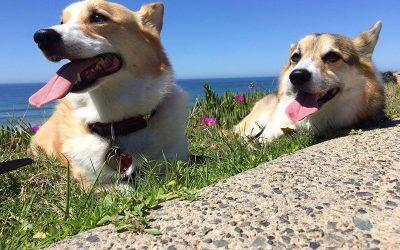 Two corgis laying in the grass with the beach in the background