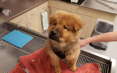 A brown and black fluffy puppy named Jax sitting on the exam table