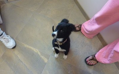 A black and white Boarder Collie puppy named Kai sitting on the clinic floor and looking curiously at the camera