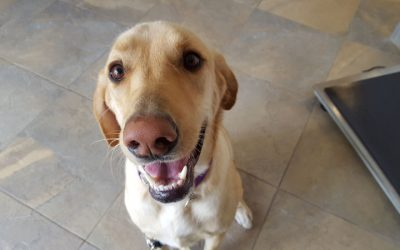 A yellow labrador named Layla smiling up at the camera