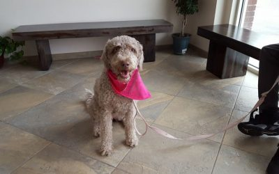A grey labradoodle named Luna wearing a pink kerchief