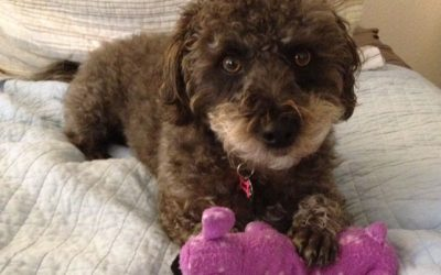 A brown and white Labradoodle named Noodles sitting on a bed and playing with a purple toy
