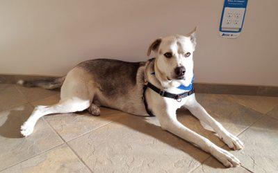 A white and black dog named Suma