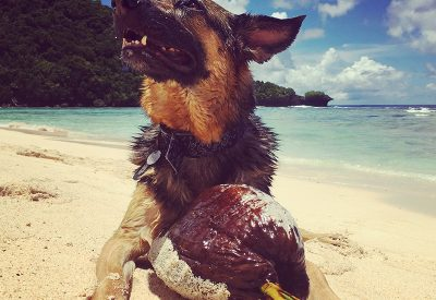 A german shepard laying on the beach next to a coconut