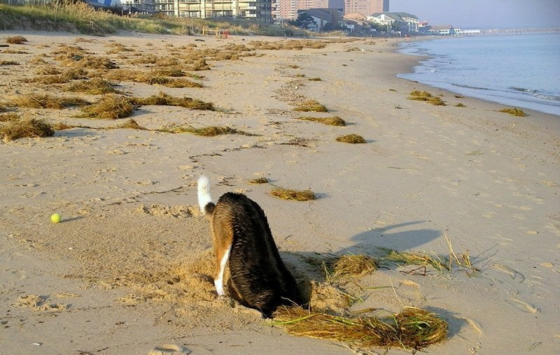 A dog named Ben happily digging a hole in the sand at the beach
