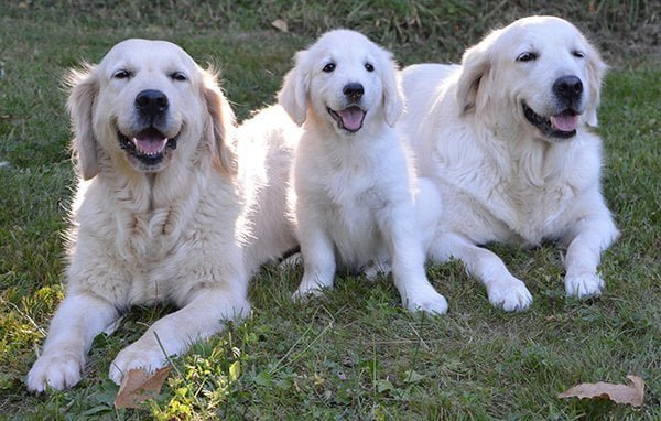 A family of three golden retrievers smiling at the camera. Two are adults and one is a puppy