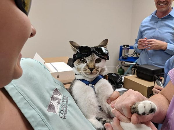A white and brown cat being held by a team member and about to receive laser therapy. The cat has safety goggles on